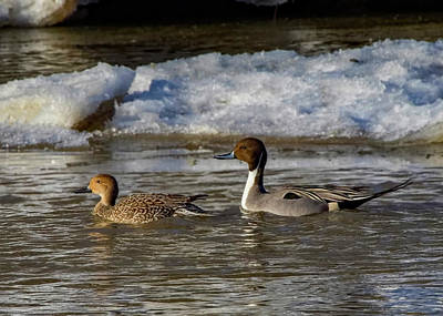 Photograph - Northern Pintail Ducks by Ron Grafe