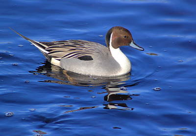 Photograph - Northern Pintail by John Burk