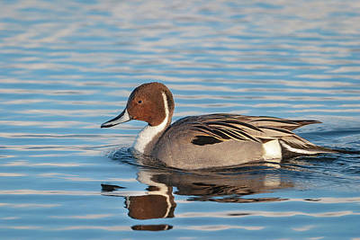 Photograph - Northern Pintail by Mark Miller