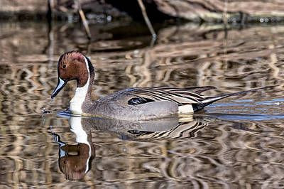 Photograph - Northern Pintail Ripples by Kathleen Bishop
