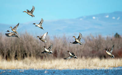 Photograph - Northern Pintail Take-off by Mike Dawson