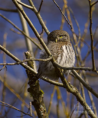 Photograph - Northern Pygmy Owl by Sharon Talson