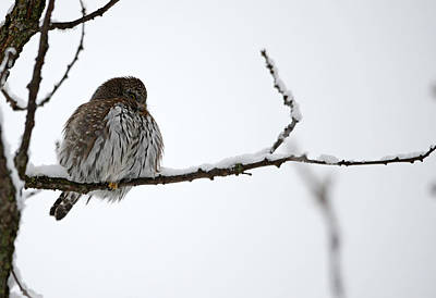 Pygmy Owl Wall Art - Photograph - Northern Pygmy Owl- The Watcher by Whispering Peaks Photography