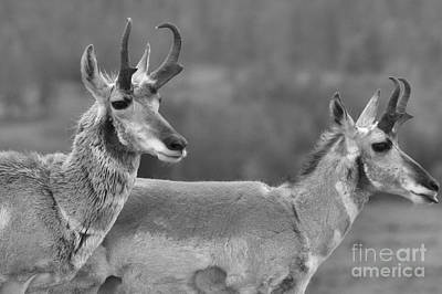 Photograph - Northern Range Pronghorn Black And White by Adam Jewell