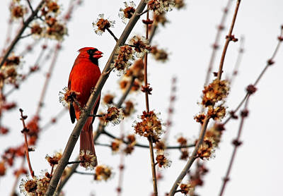 Photograph - Northern Red Cardinal In Spring by Debbie Oppermann