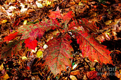 Photograph - Northern Red Oak In Fall by Paul Mashburn
