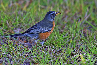 Photograph - Northern Robin Friend by Deborah Benoit
