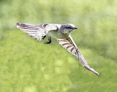 Photograph - Northern Rough-winged Swallow In Flight by William Bitman