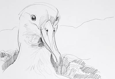 Drawing - Northern Royal Albatross by Abby McBride