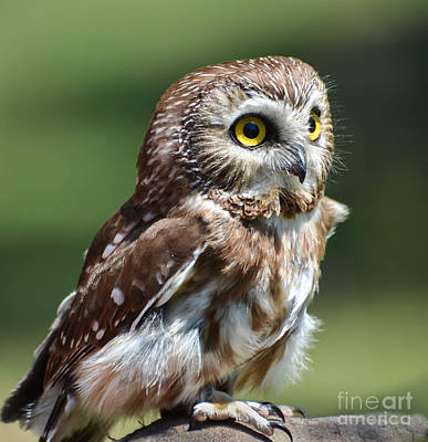 Photograph - Northern Saw Whet Owl by Amy Porter