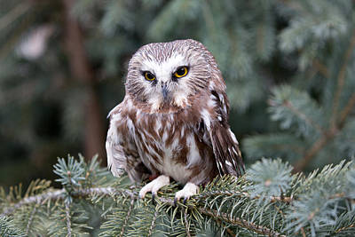 Photograph - Northern Saw-whet Owl by Jack Bell