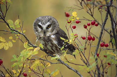 Whet Owl Photograph - Northern Saw Whet Owl Perching by Tim Fitzharris