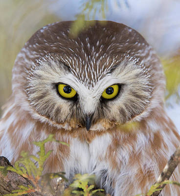 Photograph - Northern Saw-whet Owl Portrait by Mircea Costina Photography