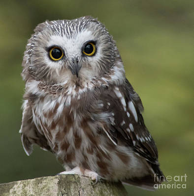 Northern Saw-whet Owl Art Print by Rebecca Miller