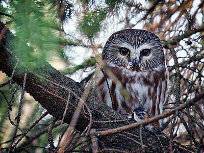Photograph - Northern Saw-whet Owl by Richard Engelbrecht