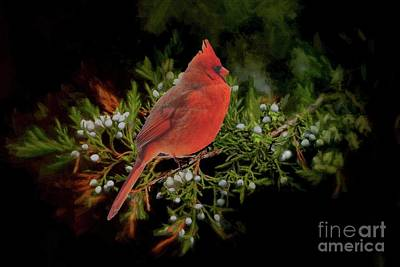 Photograph - Northern Scarlet Cardinal On White Berries by Janette Boyd