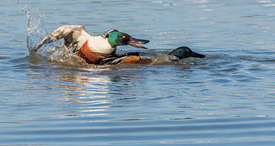 Photograph - Northern Shoveler Chase 7778-021818-1cr by Tam Ryan