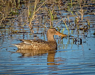 Lake Life - Northern Shoveler Hen on a Quiet Pond   by Theresa Peterson
