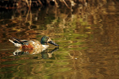 Photograph - Northern Shoveler by Jeff Swan