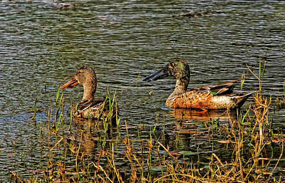 Photograph - Northern Shoveler Pair by HH Photography of Florida