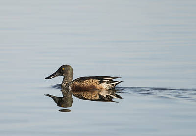 Photograph - Northern Shoveler Reflected by Loree Johnson