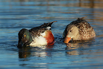 Photograph - Northern Shoveler's by Craig Strand
