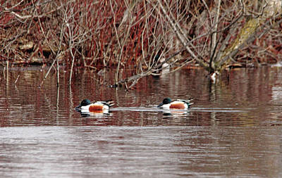 Photograph - Northern Shovelers by Debbie Oppermann