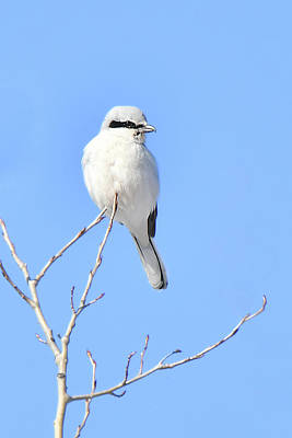 Photograph - Northern Shrike by Alan Lenk