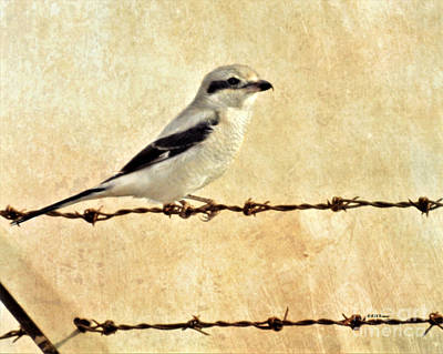 Photograph - Northern Shrike by Kathy M Krause