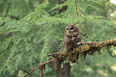 Northern Spotted Owl Strix Occidentalis Art Print