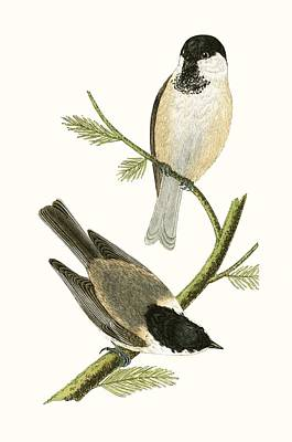 Tits Drawing - Northern Tit by English School