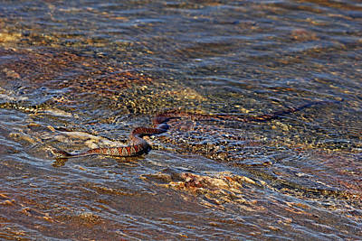 Photograph - Northern Water Snake by Debbie Oppermann