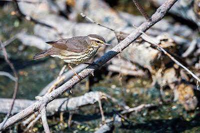 Photograph - Northern Waterthrush by Debra Martz