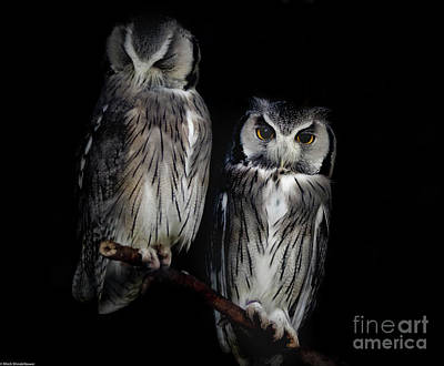Photograph - Northern White-faced Owl by Mitch Shindelbower