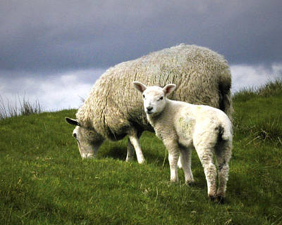 Digital Art - Northumberland Lamb by Vicki Lea Eggen