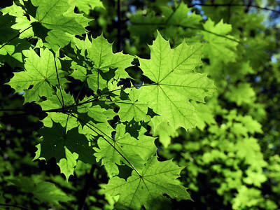 Photograph - Norway Maple Green by Jouko Lehto