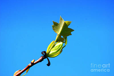 Photograph - Norway Maple Leaf 20120402_171a by Tina Hopkins