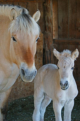Photograph - Norwegian Fjord Horse And Colt 1 by Ernie Echols