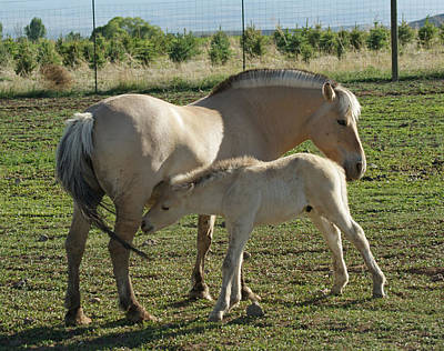Photograph - Norwegian Fjord Horse And Colt by Ernie Echols