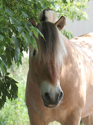 Norwegian Fjord Horse In The Shade Art Print by Laurie With