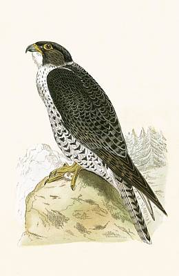 Gyrfalcon Painting - Norwegian Jer Falcon by English School