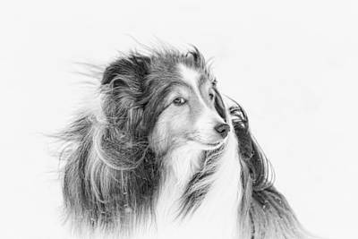 Miniature Collie Photograph - Nose To The Wind by Pat Eisenberger