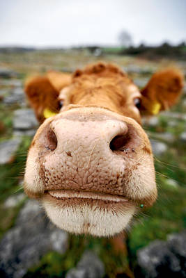 Photograph - Nosey Cow by Lawrence Boothby