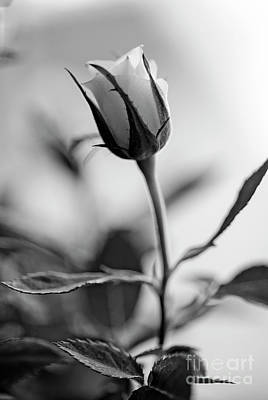 Single Rose Stem Photograph - Nostalgic by Charles Dobbs