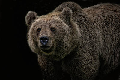 Portraits Royalty-Free and Rights-Managed Images - Not A Cuddly Toy Bear by Joachim G Pinkawa