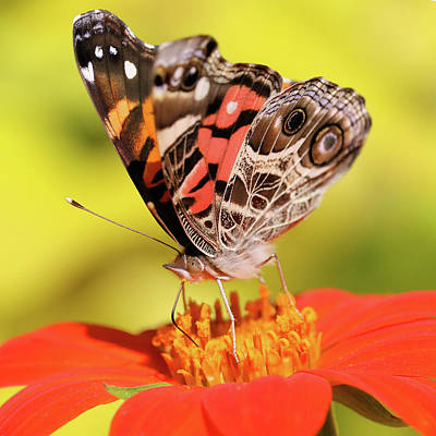 Photograph - Not A Painted Lady by Doris Potter