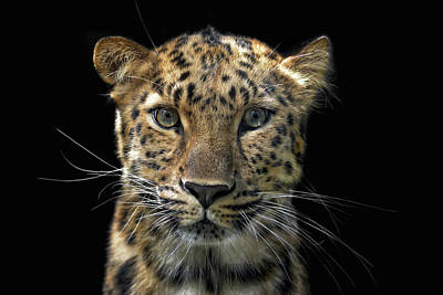 Portraits Royalty-Free and Rights-Managed Images - Not A Toy Cat by Joachim G Pinkawa