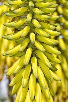 Photograph - Not Bananas by Bob Slitzan