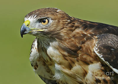 Red Tail Hawks Photograph - Not Chicken This Hawk... by Nina Stavlund