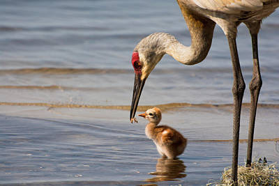 Crane Photograph - Not Hungry by Zina Stromberg